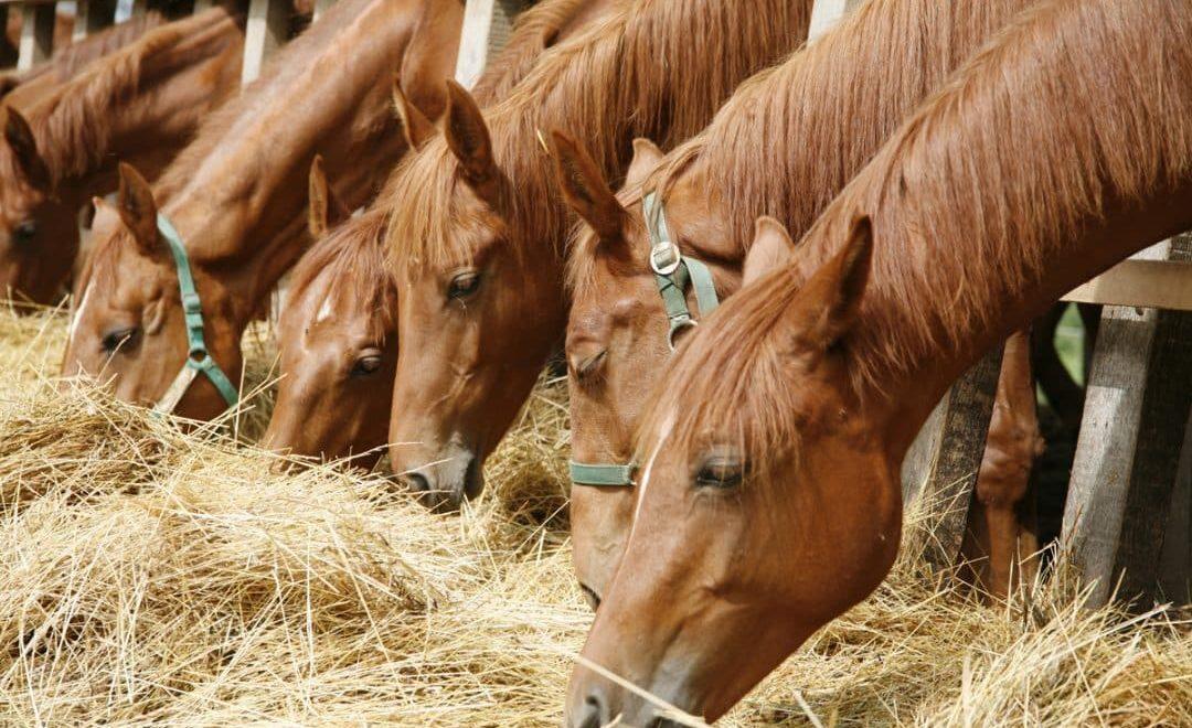 Como fazer a alimentação correta dos cavalos