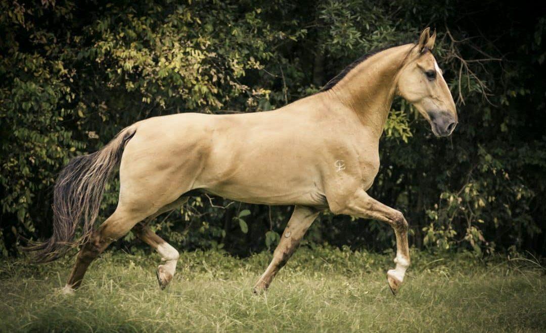 Cavalo Campolina: características da raça
