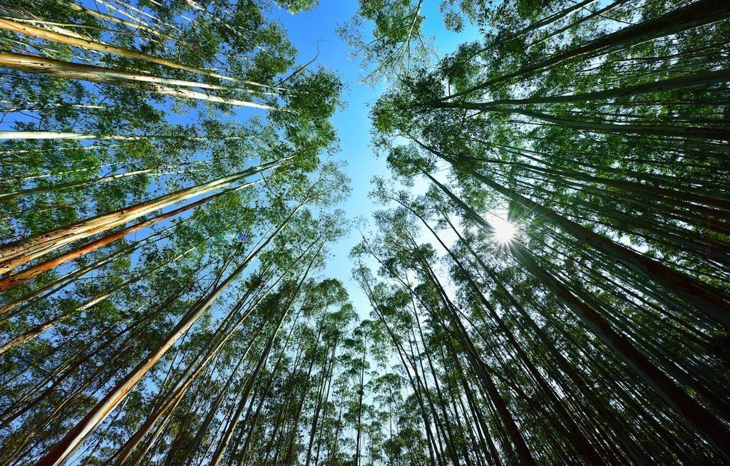 Árvores de eucalipto vista de baixo pra cima