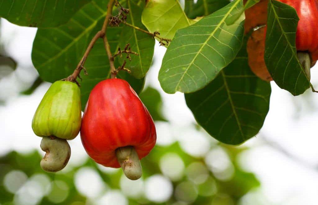 Conheça 6 frutas nativas brasileiras