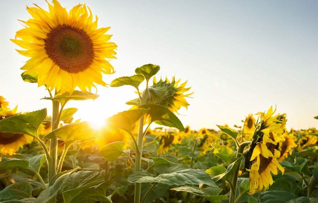 Plantio de girassol como rotação de culturas