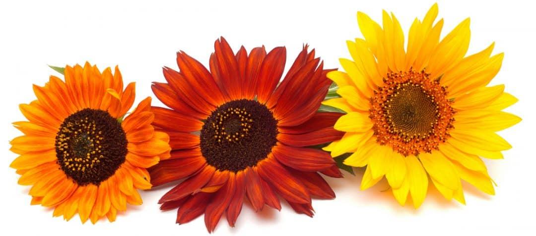 Buque com flores amarelas e vermelhas de girassol