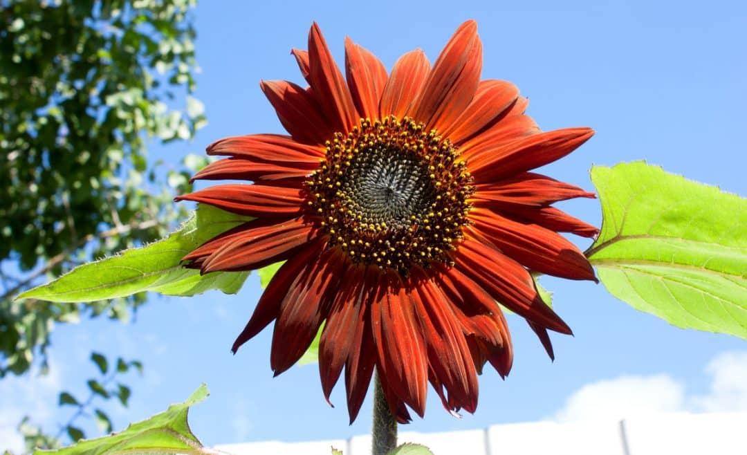 Flor de girassol vermelho em contraste com o céu azul