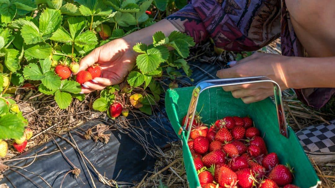Mulher colhendo morangos com as mãos