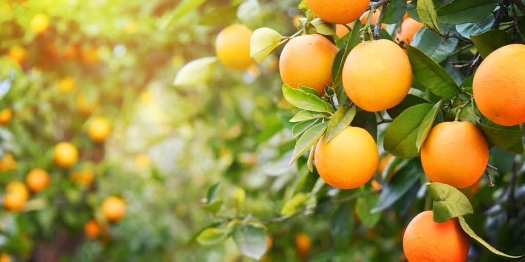 Pomar em sítios e chácaras: opções para plantar