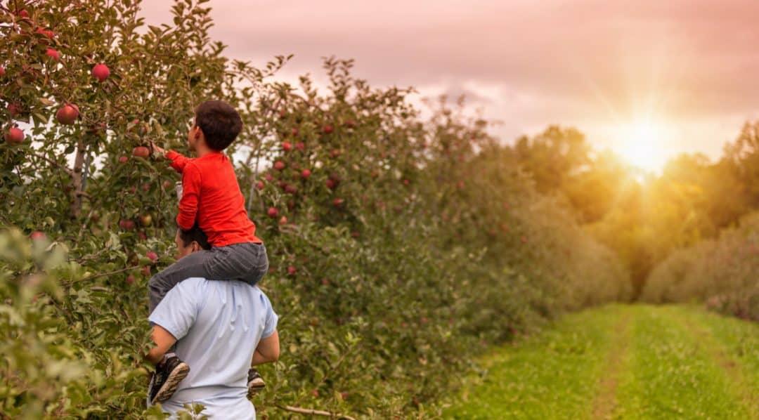 Criança nos ombros do pai colhendo fruta direto do pé