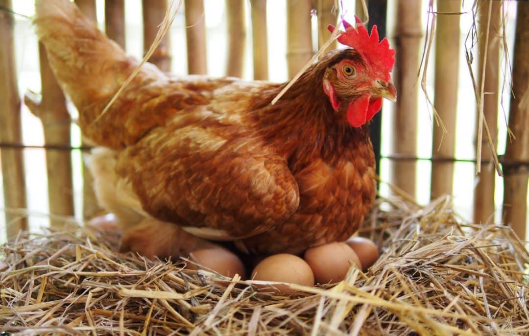 Galinha chocando ovos