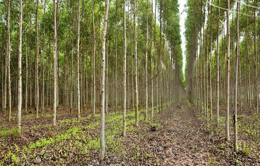Fileiras de eucaliptos com espaçamentos