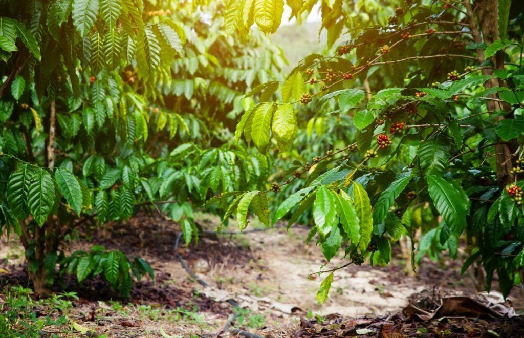 Após colheita, cafeicultor deve monitorar a fertilidade do solo