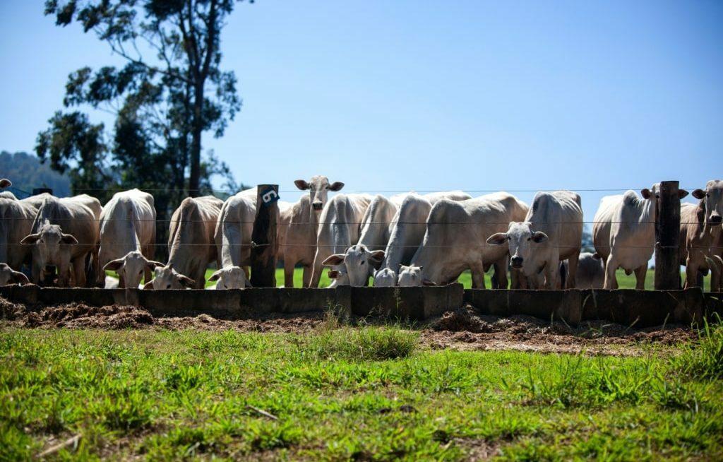 Cabeças de gado suplementadas no cocho