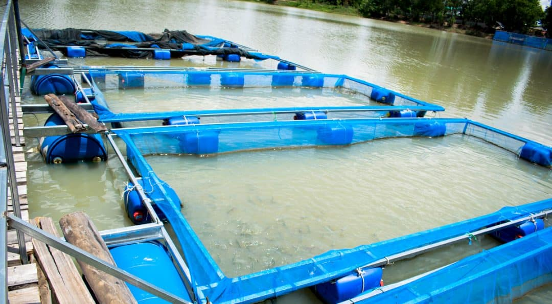Tanques-rede com peixes em lagoa