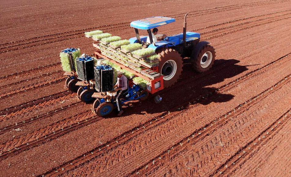 Trator plantando mudas de tomate