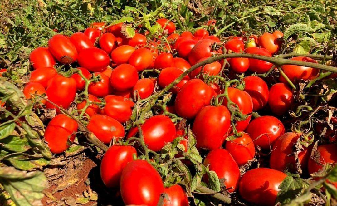 Produção de tomate industrial no Brasil