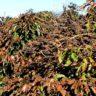 Geada no café: quais os impactos na lavoura
