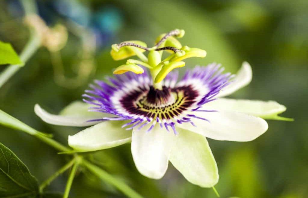 Passiflora: a flor da paixão que acalma