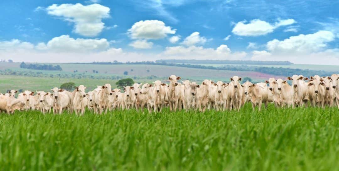 Rebanho bovino de corte em pasto verde
