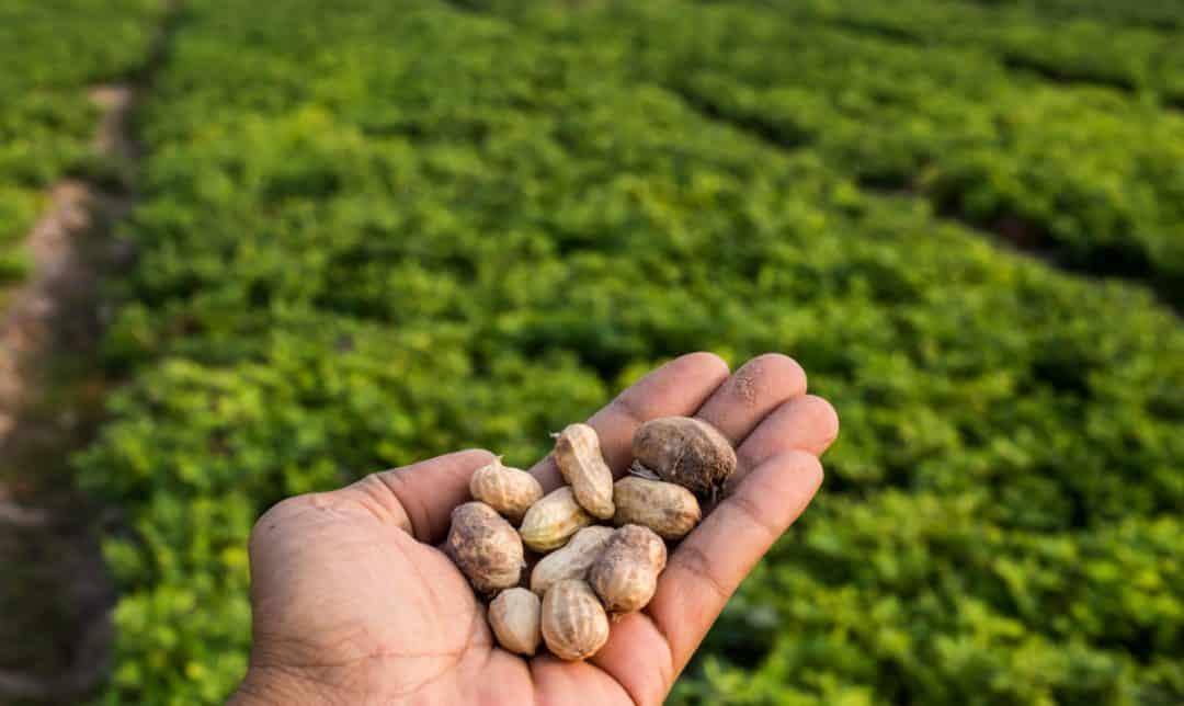 Melhores práticas no plantio de amendoim