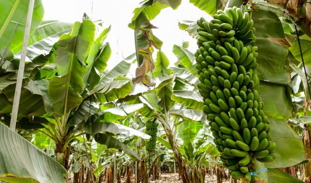 Plantio de banana com cachos verdes