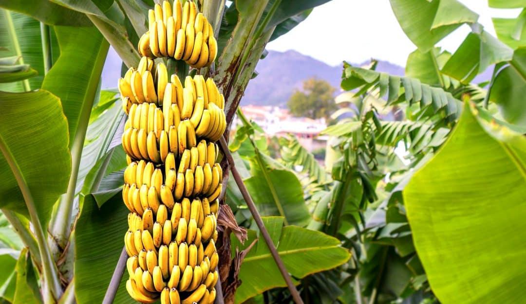 Mercado de banana no Brasil