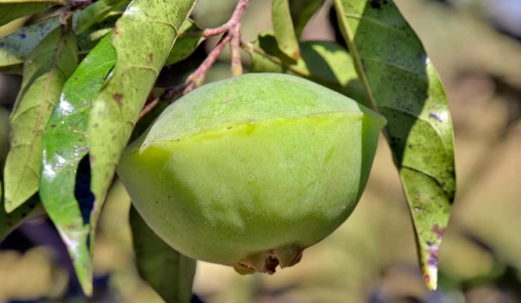 Fruta cambuci no pé.