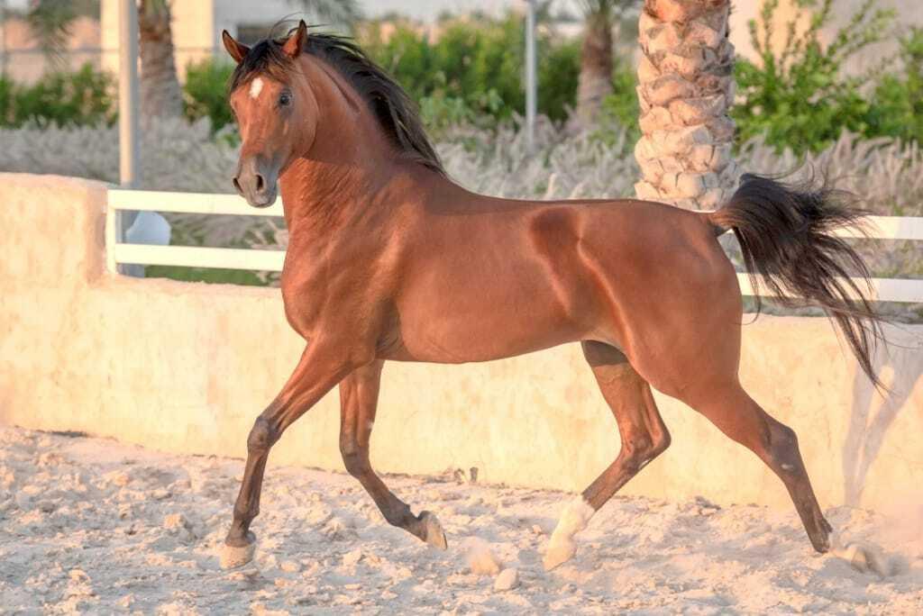 Cavalo Árabe numa pista de areia