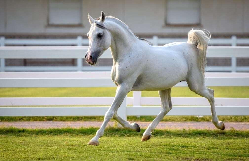 Cavalo Árabe branco trotando no haras