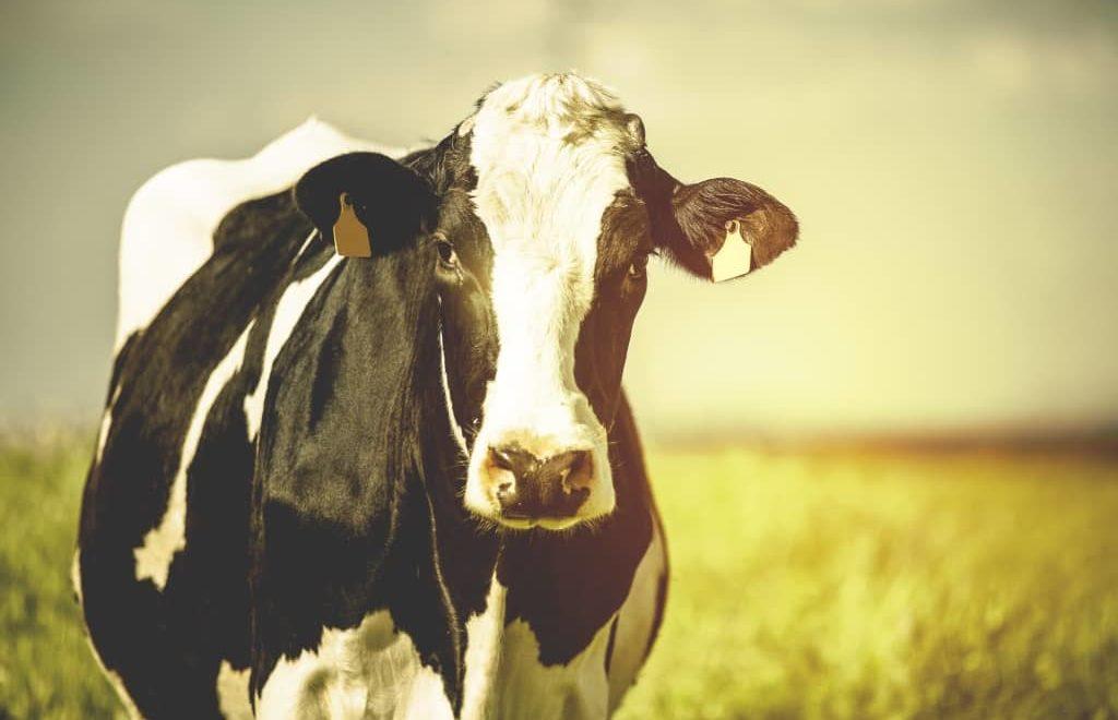 Conforto térmico e seu impacto na criação de vacas leiteiras
