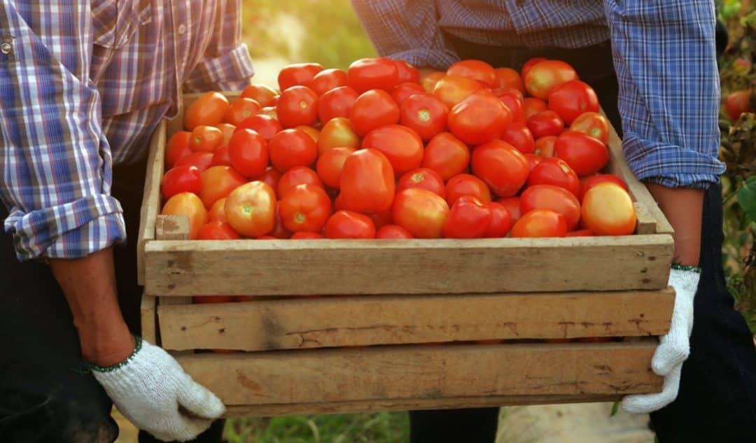 Dois produtores seguram uma caixa de tomate
