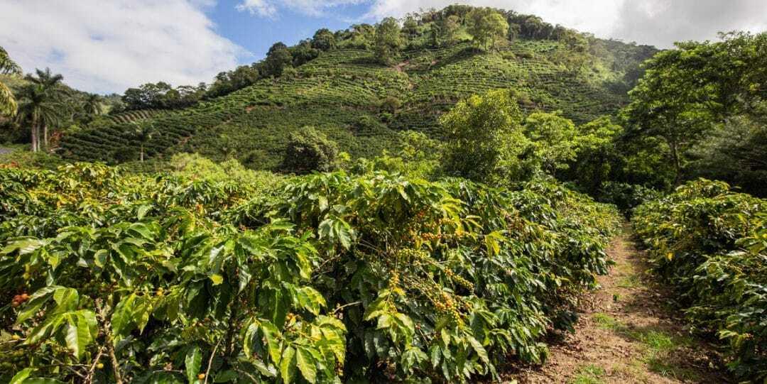 Lavoura de café com montanha