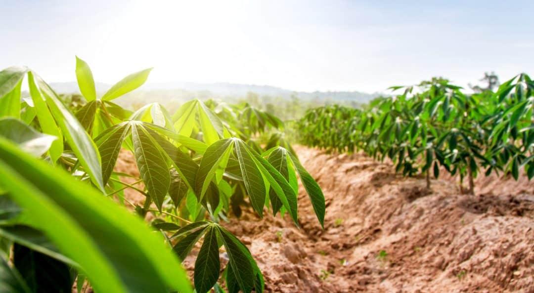 Influencia do clima na produção de mandioca