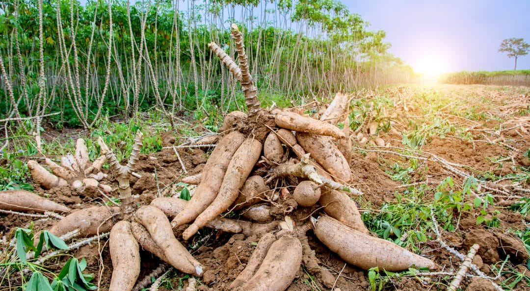 A influência do clima na plantação de mandioca