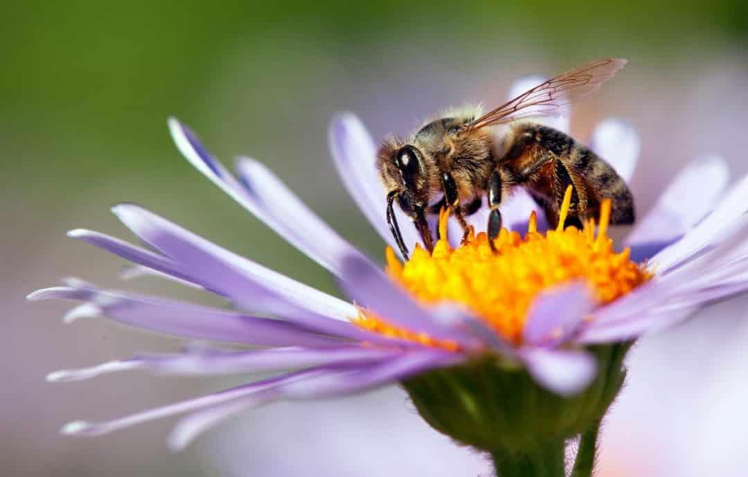Abelha extraindo o pólem das flores