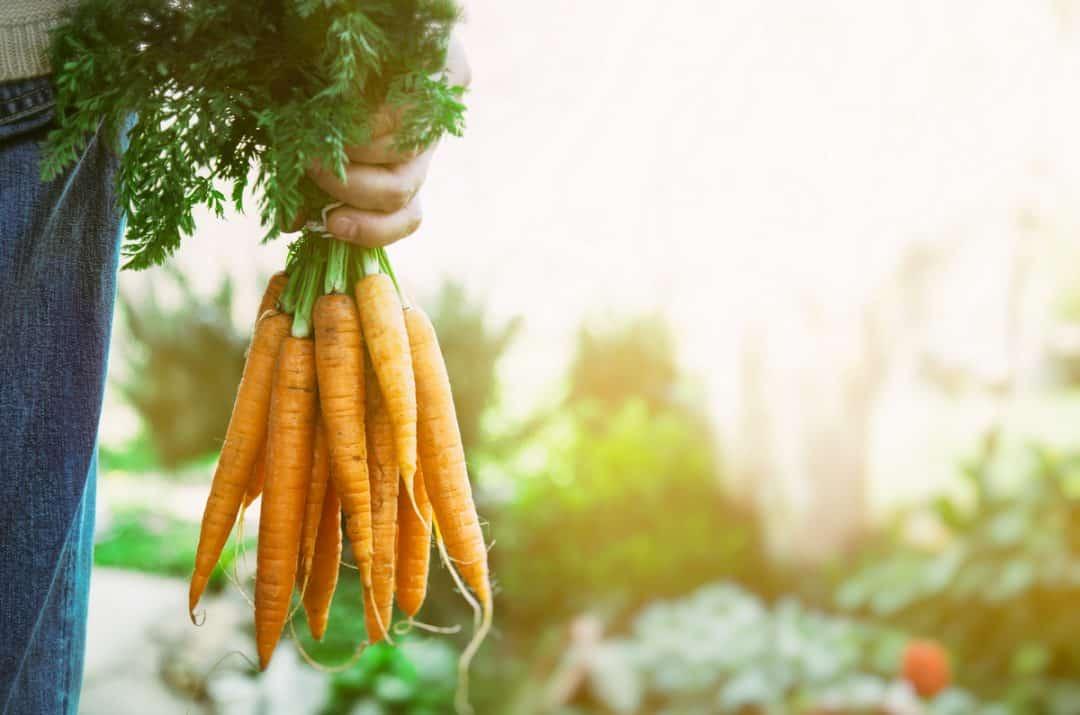 Homem segura uma quantidade de cenouras colhidas.
