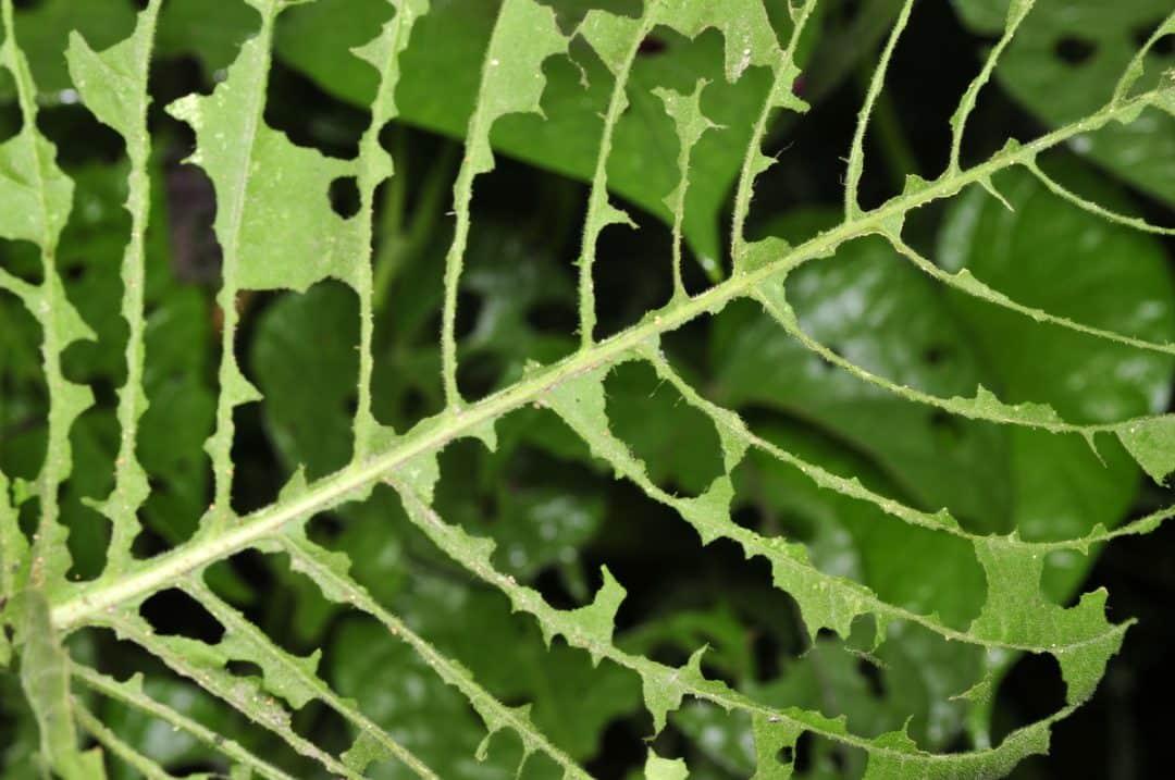Folha de uma planta comida por praga.