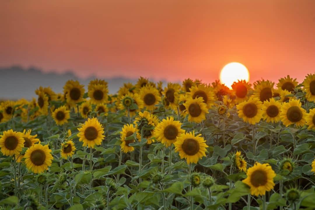 Plantio de girassol com o sol ao fundo.