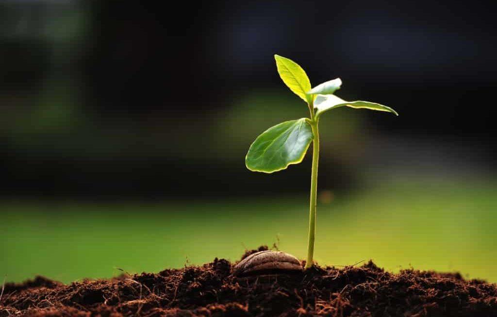 Planta germinada em substrato