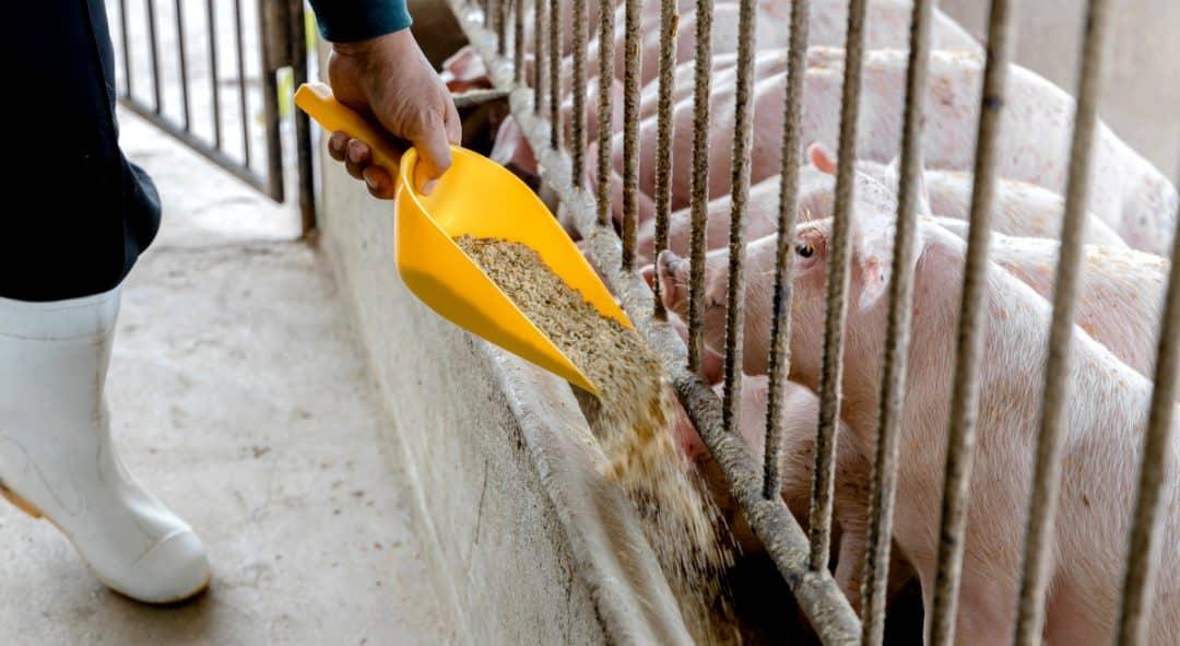 Homem alimenta suínos em granja