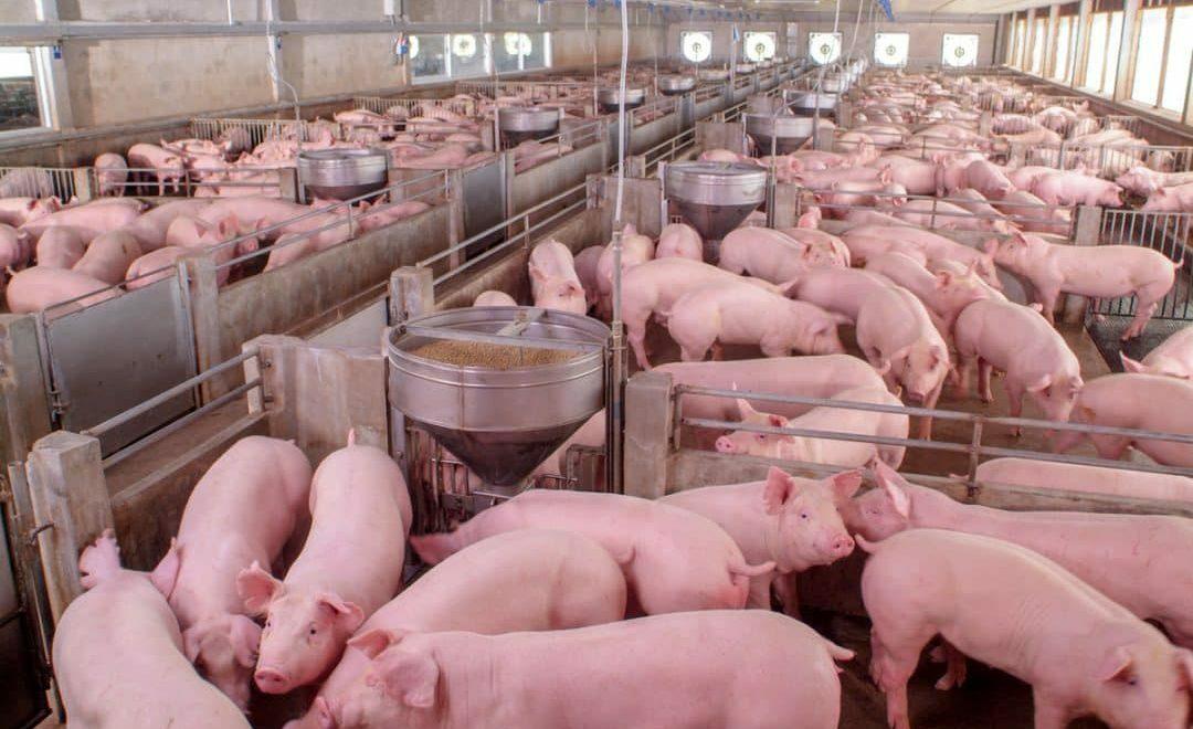 Melhores práticas de produção suína que você precisa conhecer