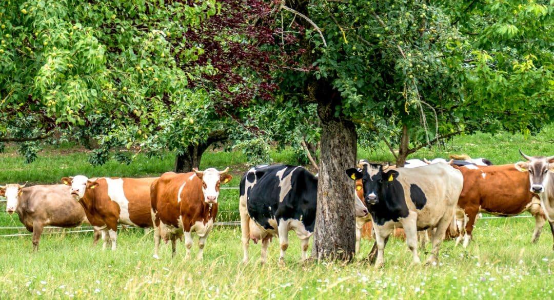 Vacas leiteiras debaixo da sombra de uma árvore no pasto.
