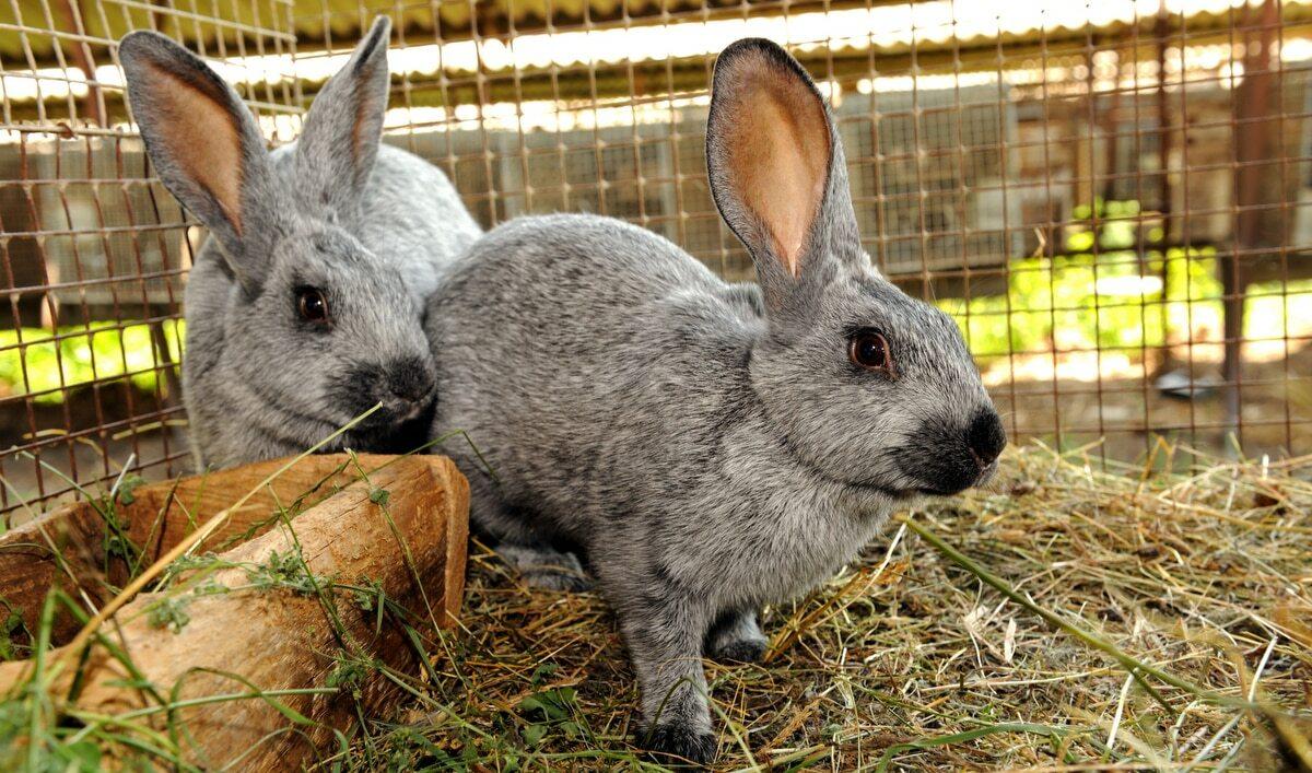 Dois coelhos adultos em gaiola.