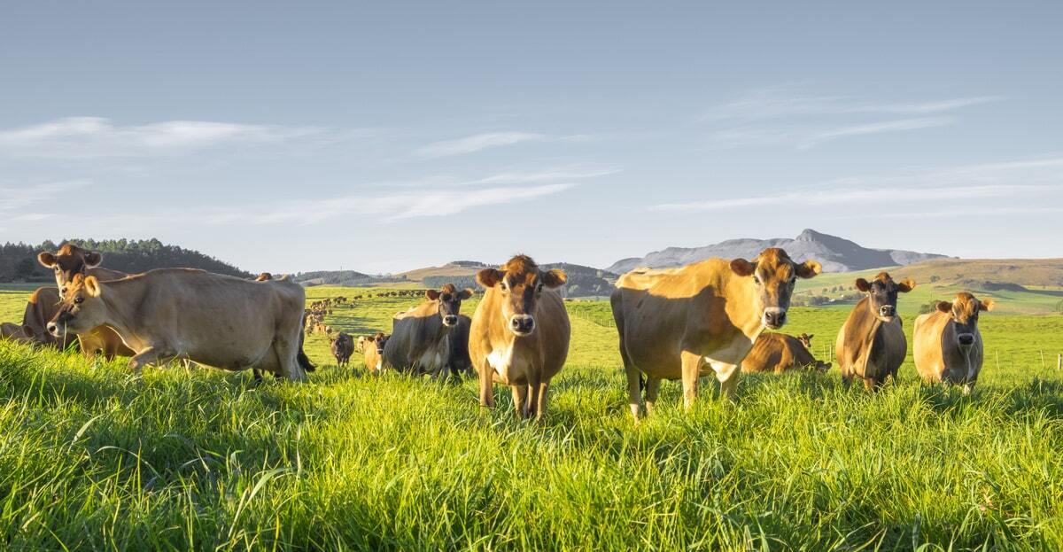Animais da raça jersey pastando no campo.