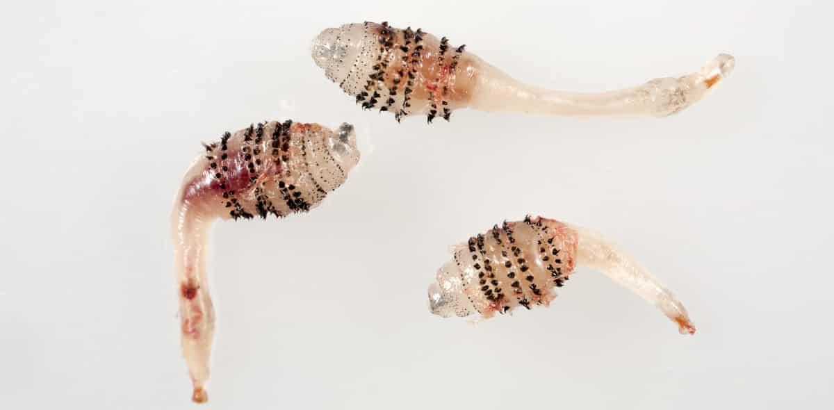 3 larvas de berne
