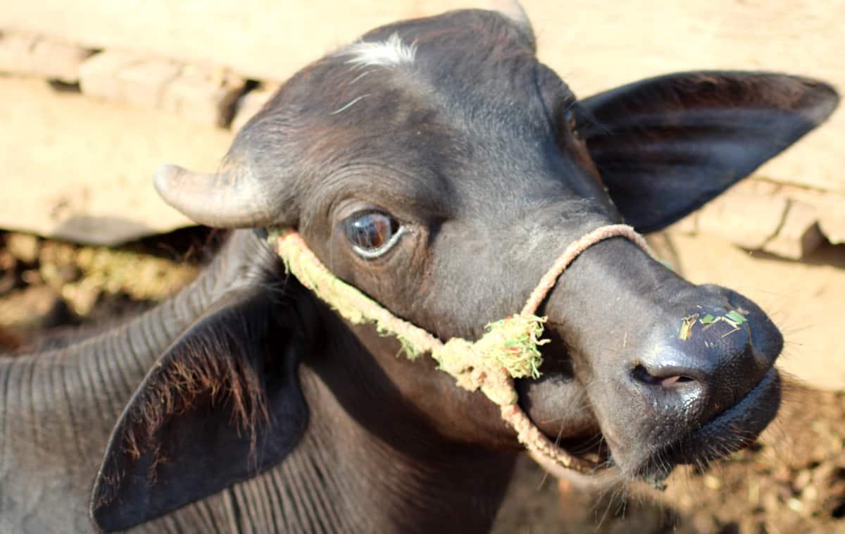 Exemplar de búfalo da raça murrah