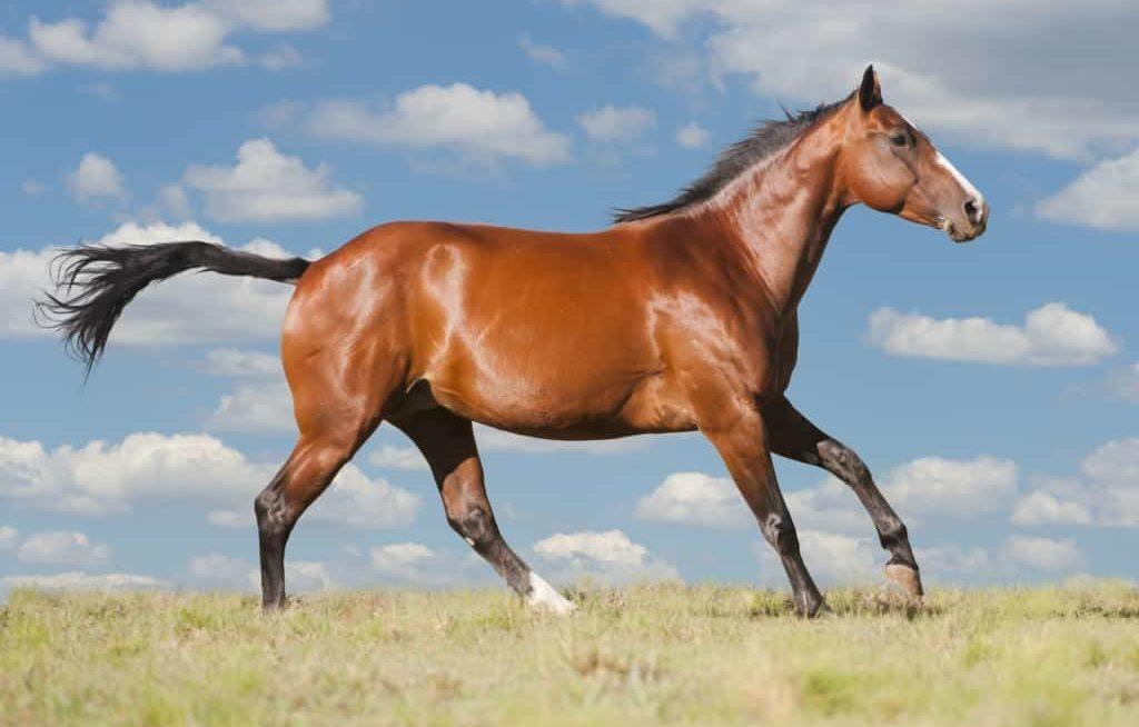 Cavalo quarto de milha correndo no pasto