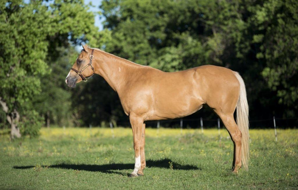 Cavalo quarto de milha cor palomino parado no pasto