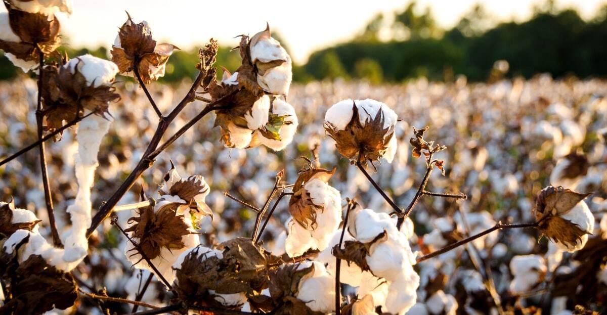 Lavoura de algodão pronta para colheita