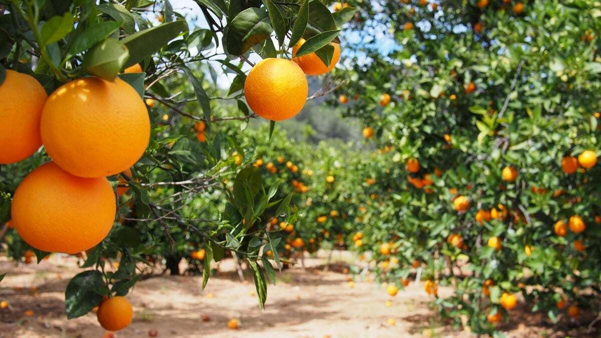 Lavoura de laranja com frutos prontos para colher