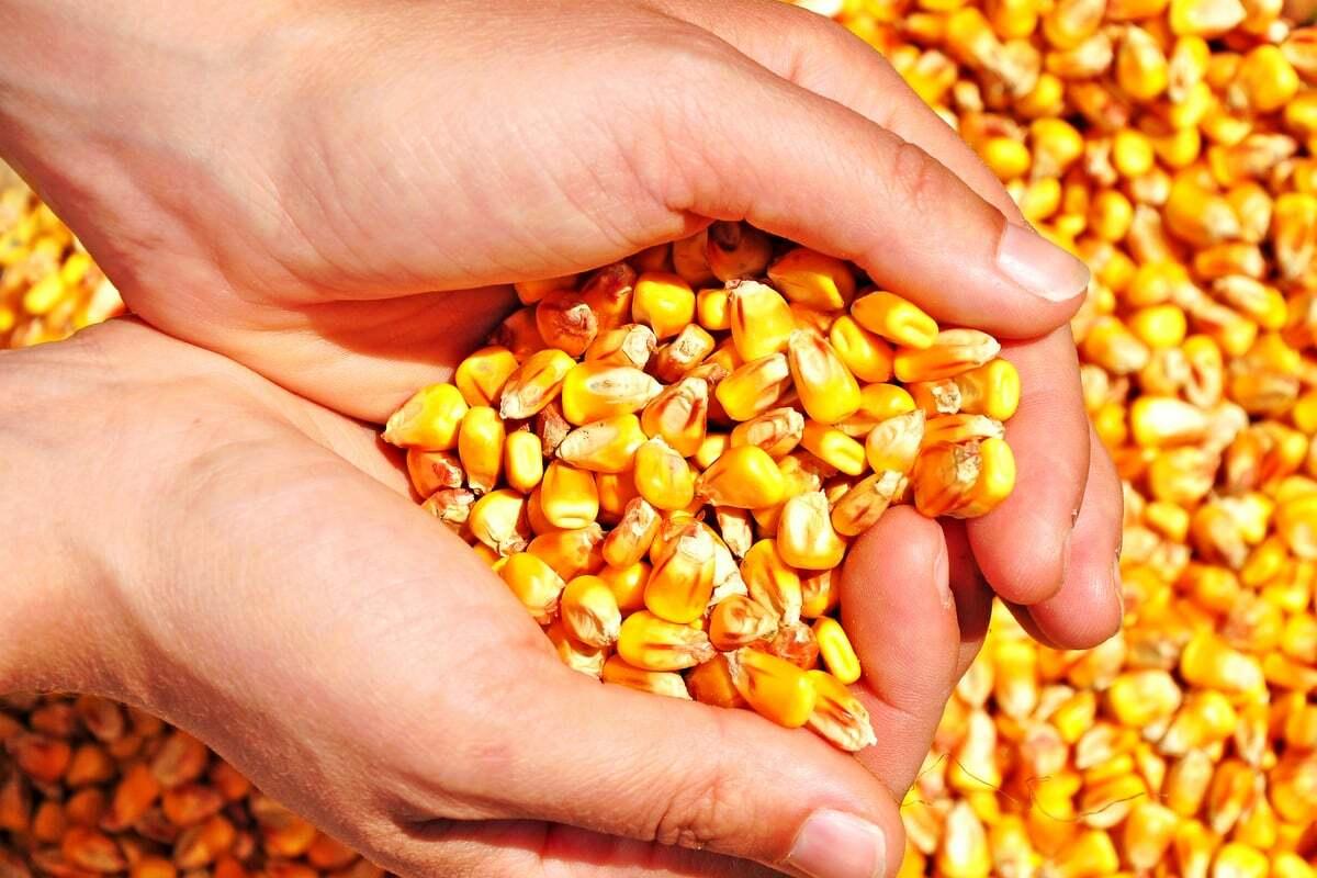 Porção de milho com as mãos