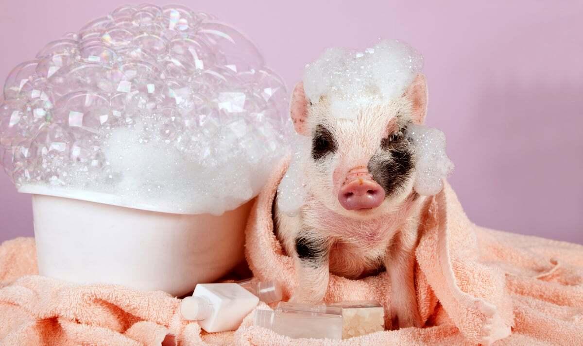 Mini porquinho tomando banho, enrolado na toalha