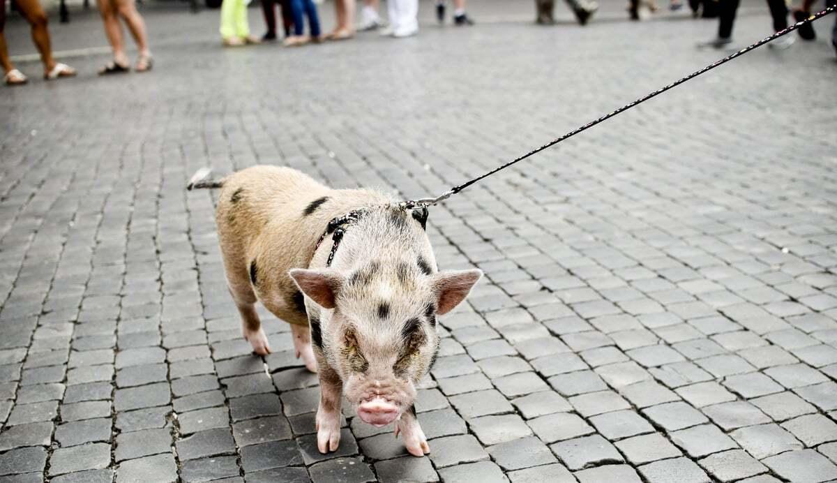 Mini porco na coleira, desfilando pela rua